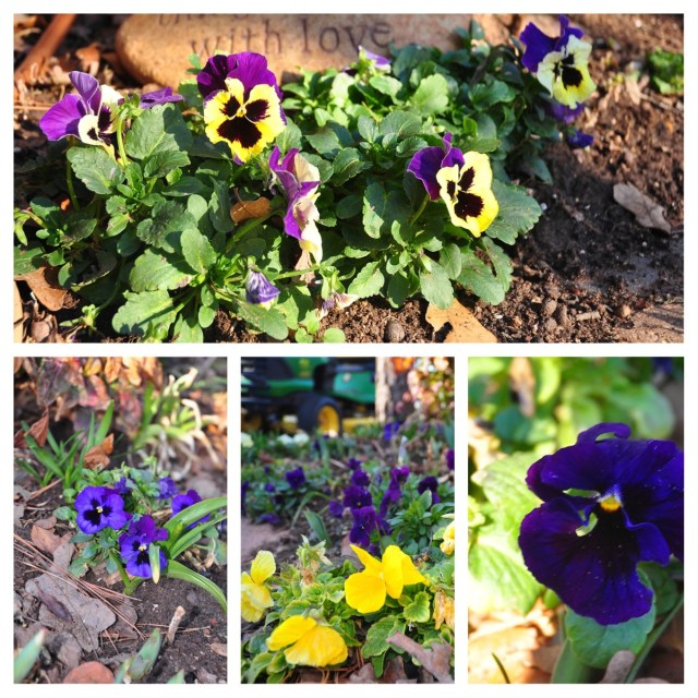 The pansies and violas all look a bit tattered after the small snow we had a couple of days ago.
