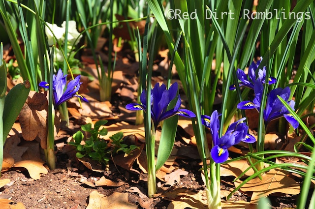 Iris reticulata 'Harmony' blooms beneath 'Jane' magnolia. It is finished before  'Jane usually starts.