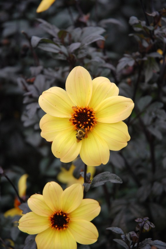 Yellow dahlia, probably 'Mystic Illusion' taken at the J.C. Raulston Arboretum.