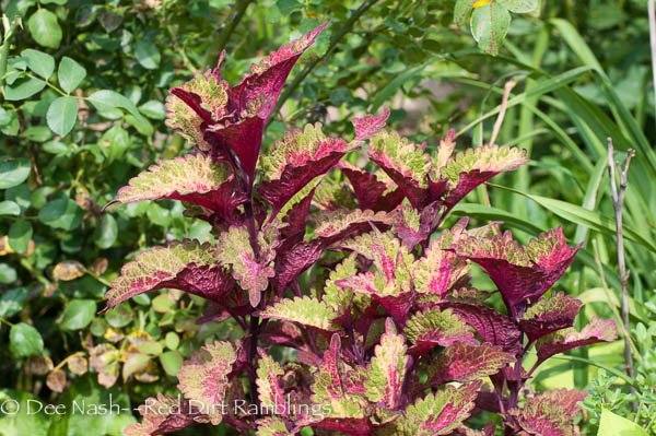 Another coleus. Can't remember the name, but it's pretty
