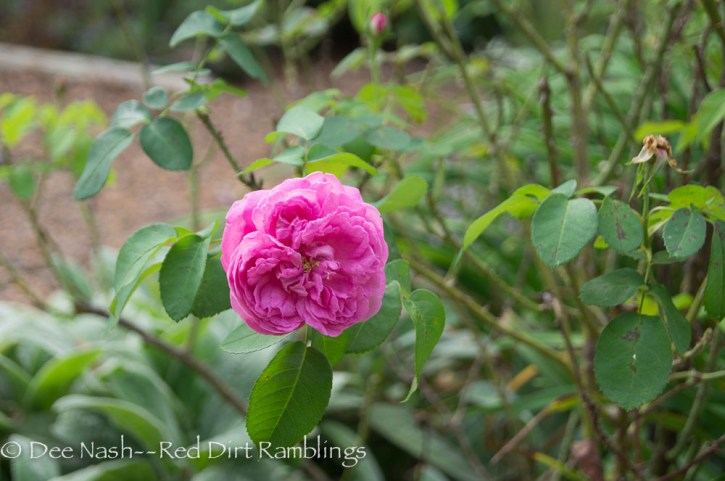 Rosa 'Madame Isaac Pereire' is blooming again. I deadheaded her about three weeks ago. I know it was late, but I need to see those blooms.