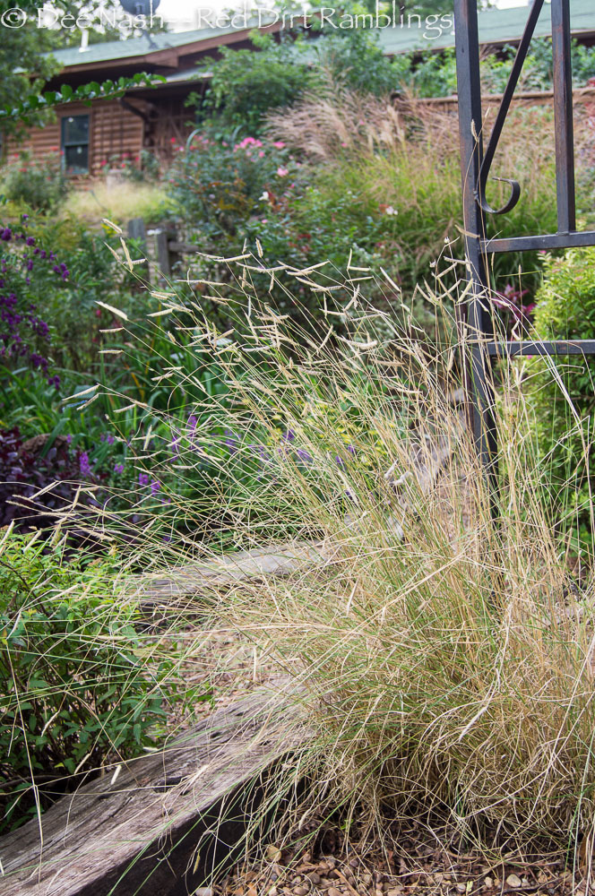 'Blonde Ambition' blue grama grass