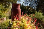 Salvia elegens 'Golden Delicious' pineapple sage in front of my red fountain. #nofilter