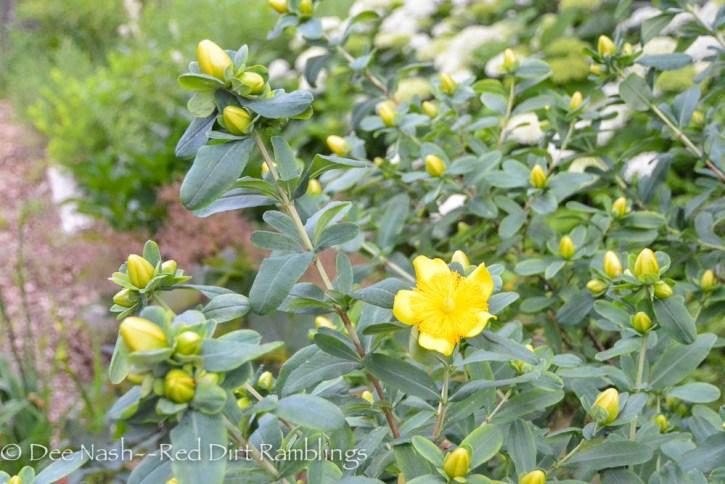 Hypericum prolificum, shrubby St. John's wort.