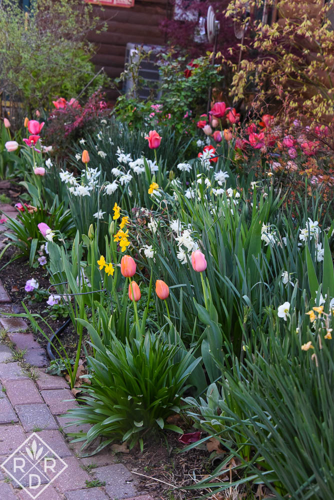 Garage border full of tulips and narcissus. It's probably at peak bulb bloom now.