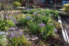 Phlox divaricata makes the shade garden blue and purple.