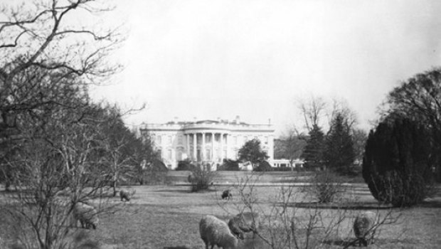 whitehouselawnwithsheep