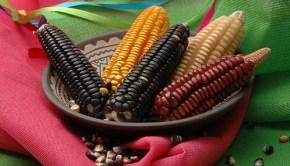 mexican_corn_CIMMYT