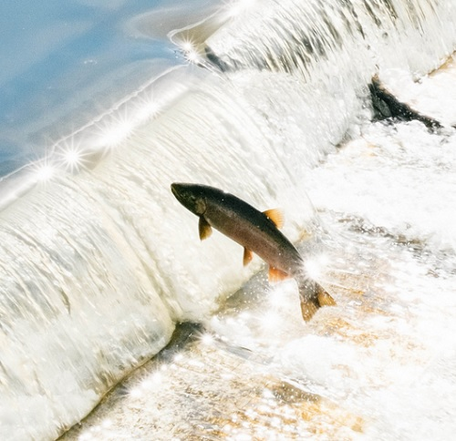 Save the salmon - Klamath River dams coming down