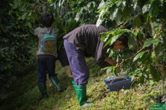 ...a owoce zbierane są ręcznie
