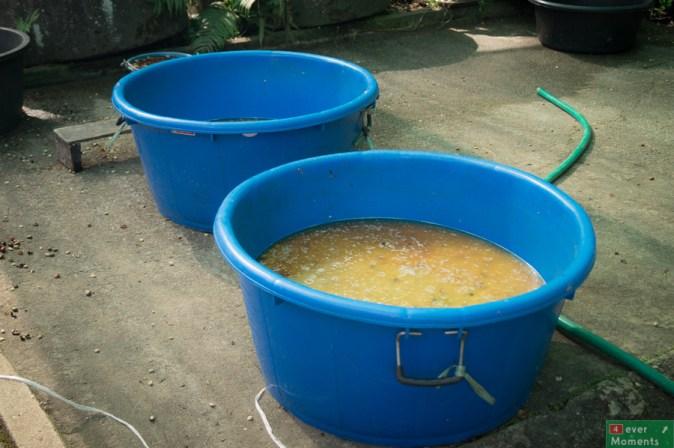 ...a potem moczone do osiągnięcia okreslonej wilgotności, poddane fermentacji i i suszone na słońcu...