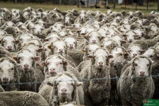 """Niestety statystki wypadają słabo, na jednego """"mieszkańca"""" Glenatnner przypada jakieś 200 lokalnych owiec ;)"""