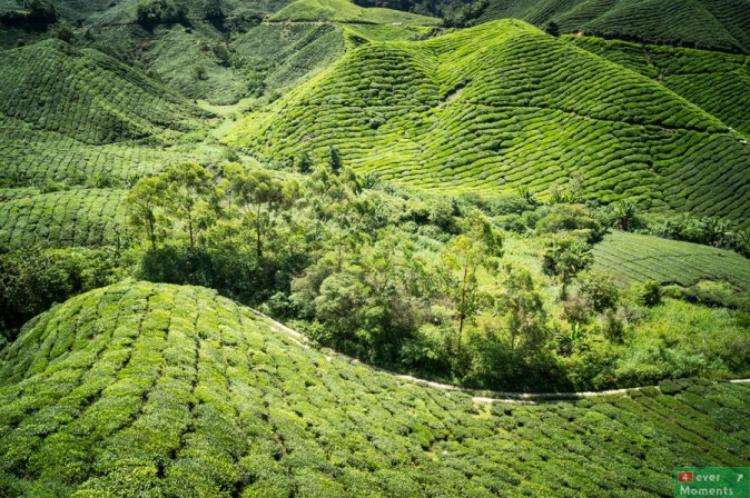 Cameron Highlands-36