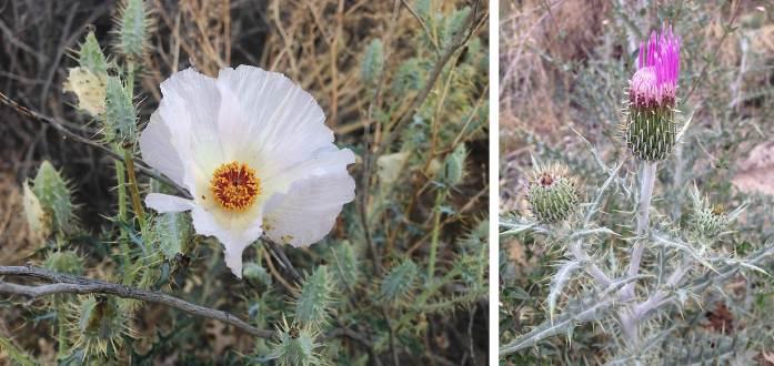 Left: Prickly poppy Argemone spp. Right: Yellow thistle