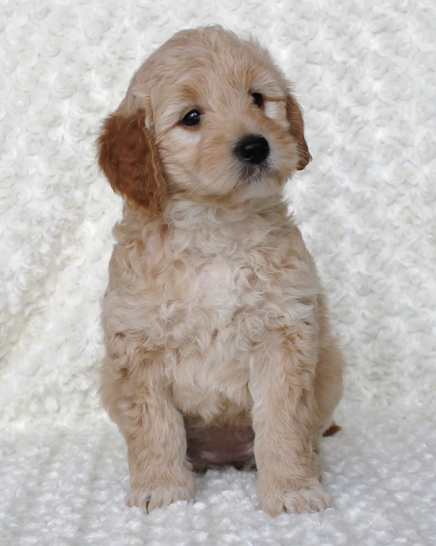 Abby, F1b Mini Goldendoodle at 6 weeks