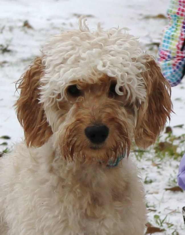 Kenzie is an F1 mini Goldendoodle at Regal Doodles