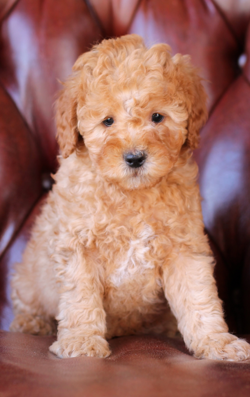 Jaxon, F1b Mini Goldendoodle at 8 weeks