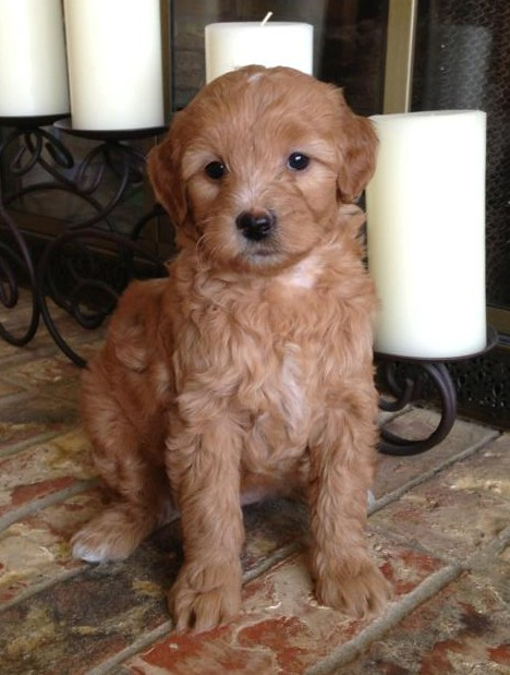 Scout, F1b Mini Goldendoodle at 8 weeks