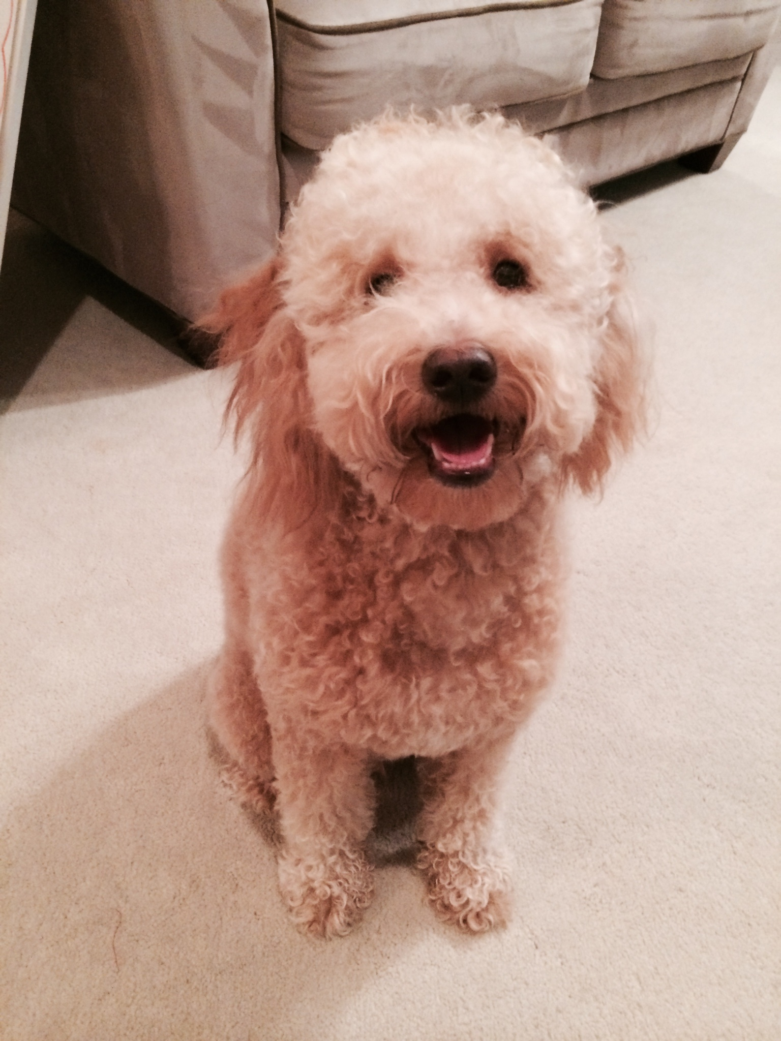 Jaxon, Mini F1b Goldendoodle