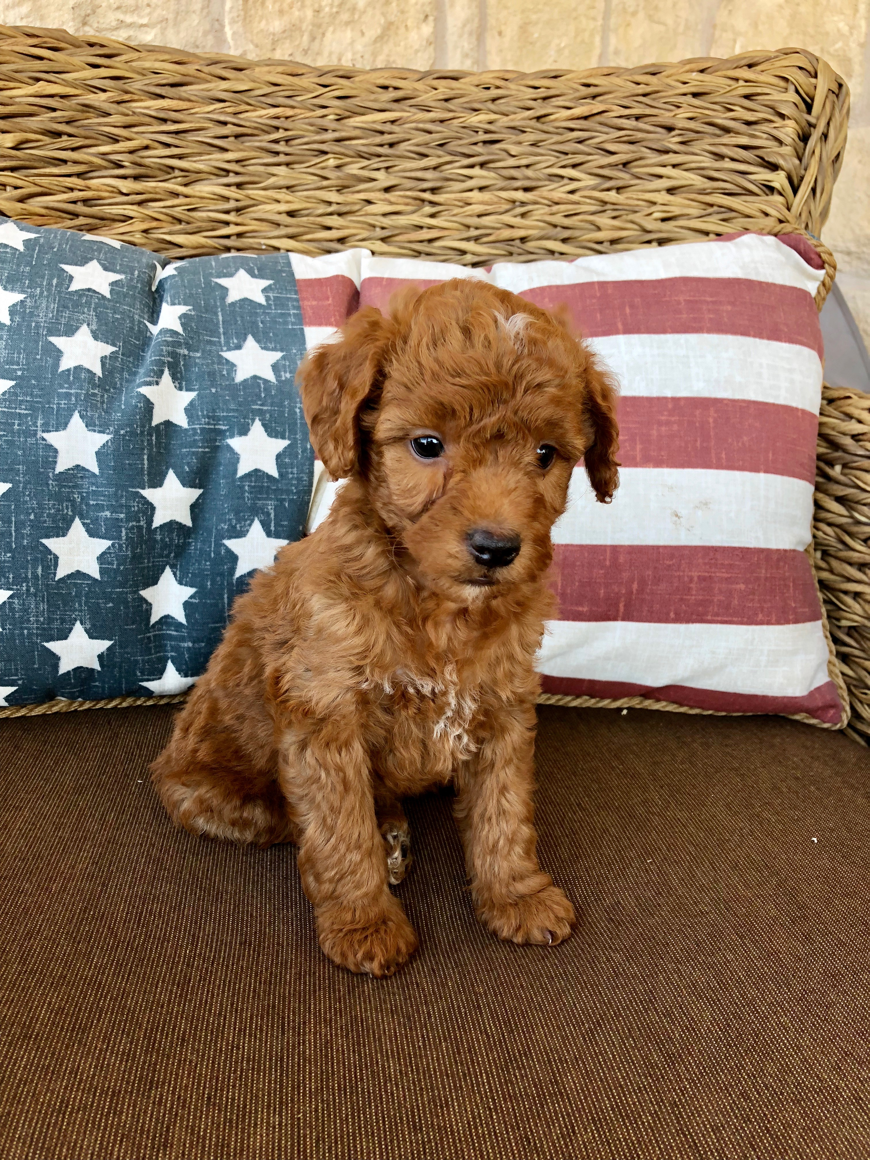 Mini F1b Goldendoodle Puppy