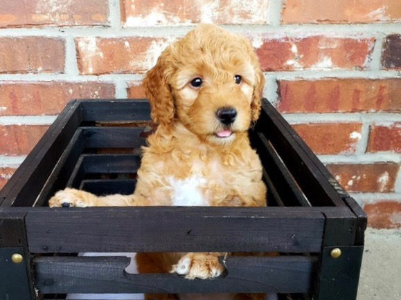 Medium F2 Goldendoodle