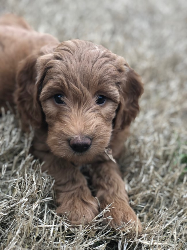 Scarlett is a F2 Mini/Medium Goldendoodle at Regal Doodles