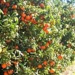 citrus_censo