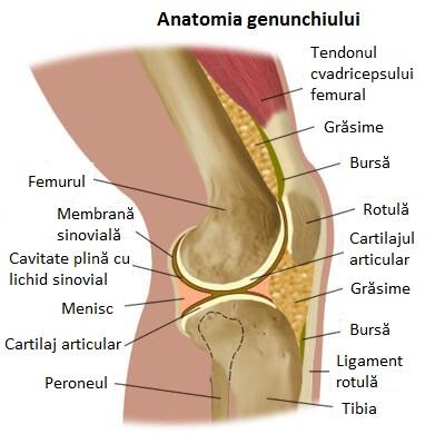 anatomie-genunchi