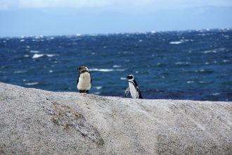Niedlich oder? An diesen drei Orten in Südafrika, könnt ihr Pinguine aus nächster Nähe in freier Wildbahn beobachten.