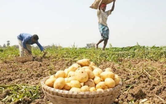 Farmers harvesting Irish potatoes in Nakuru County. The County produces  more than 60 percent of the total Irish potatoes consumed locally. Photo: Courtesy