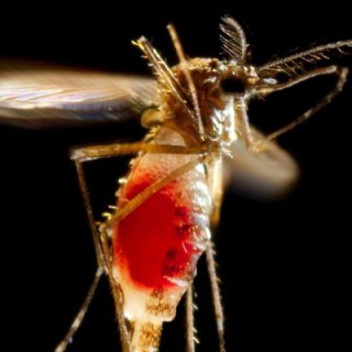 A female Aedes aegypti mosquito takes flight as she leaves her host's skin surface [Photo: 	James Gathany ]