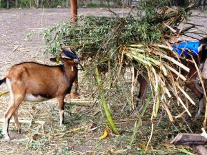 One of the pedigree she-goats feeds on chopped shrub at the well maintained livestock farm off the Sagana-Meru highway in Kirinyaga County, ready for the export market. [Photo: Fred Deya]