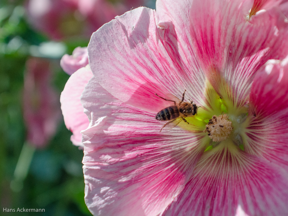Die Blüten der Stockrose