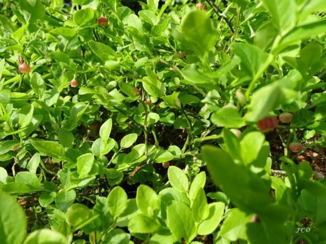 08 fleurissement des brimbelliers