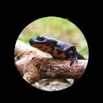 Salamanders-Circle