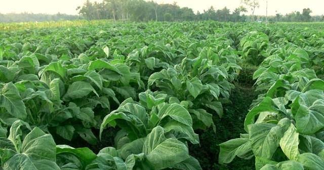 Panduan dan Cara Budidaya Tembakau Bersama Natural Nusantara