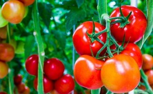 Tehnik dan Cara Budidaya Tomat Organik