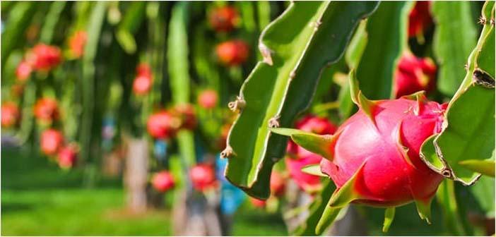 Cara pemeliharaan budidaya buah naga