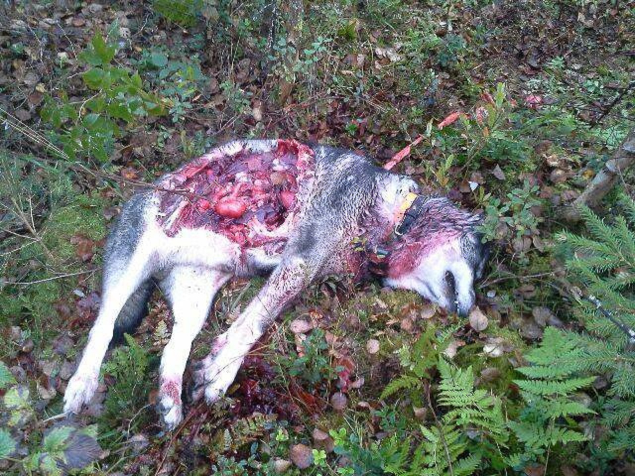 Imposing Swedish Elkhound Killed By Wolves Swedish Elkhound Killed By Wolves History Dog Vs Wolf Fight Liveleak Dog Vs Wolf Reddit bark post Dog Vs Wolf