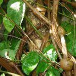 Banisteriopsis Caapi Vine