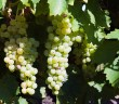 grapes-on-vine-1318688-1279x852