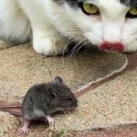 El sabor amargo del ratón crítico