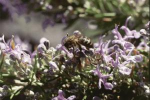 O processo de polinização expõe as abelhas aos microrganismos presentes nas flores. Imagem cedida por António Hermenegildo