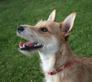 Terrier_mixed-breed_dog