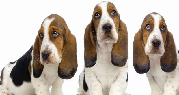 Cachorros Sabuesos_800