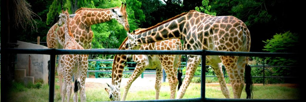 A day trip to Mysore zoo