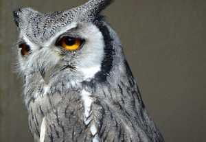 WHITE-FACED OWL DSC02161 EDIT WEB