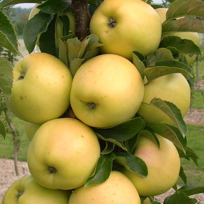 Large Of Granny Smith Apple Tree