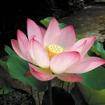 Lotus plant - A symbol of purity