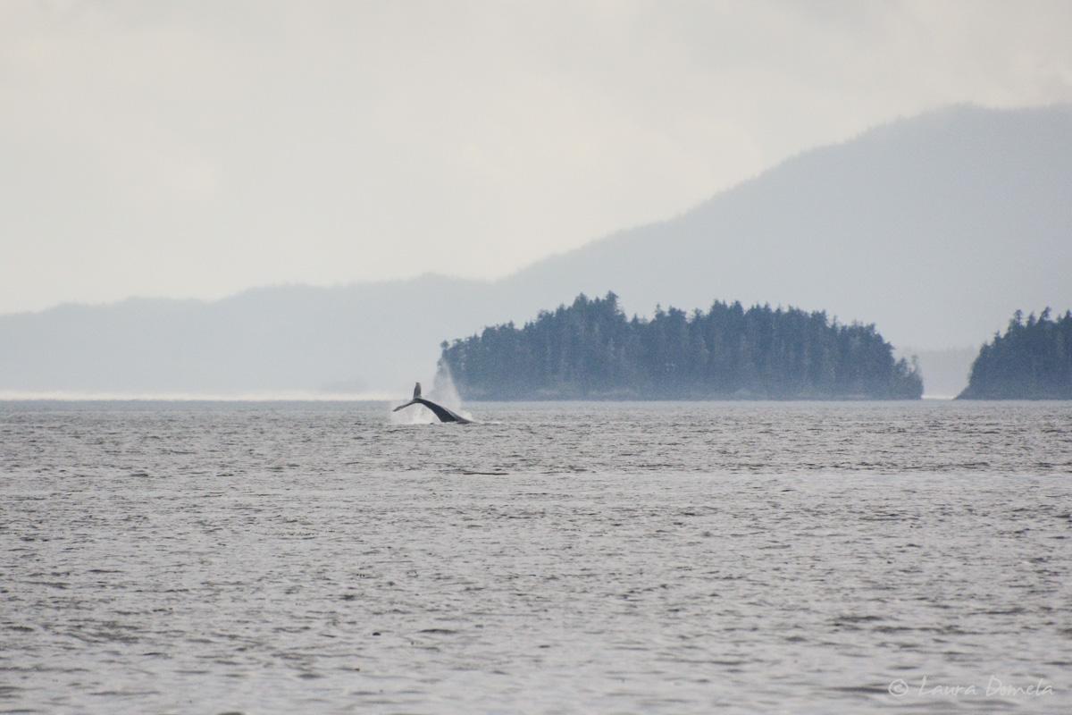humpback-5419